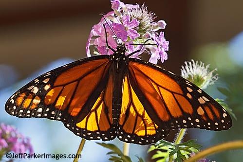 Backlit Monarch