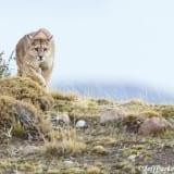 Jeff Parker's photo tour of Pumas of Patagonia.