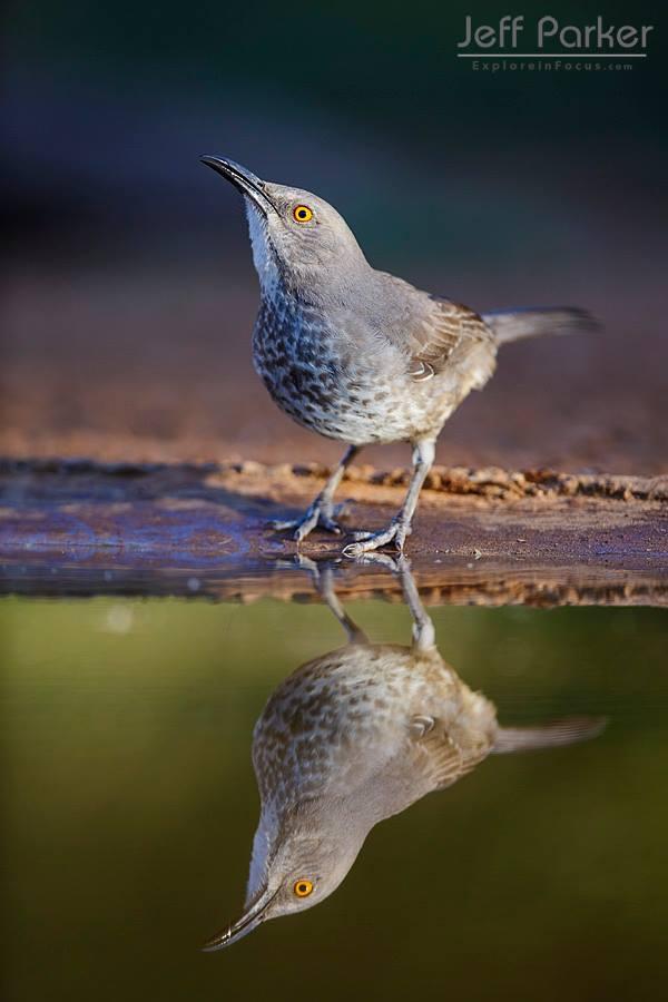 South Texas Birds Photo Tour with Jeff Parker