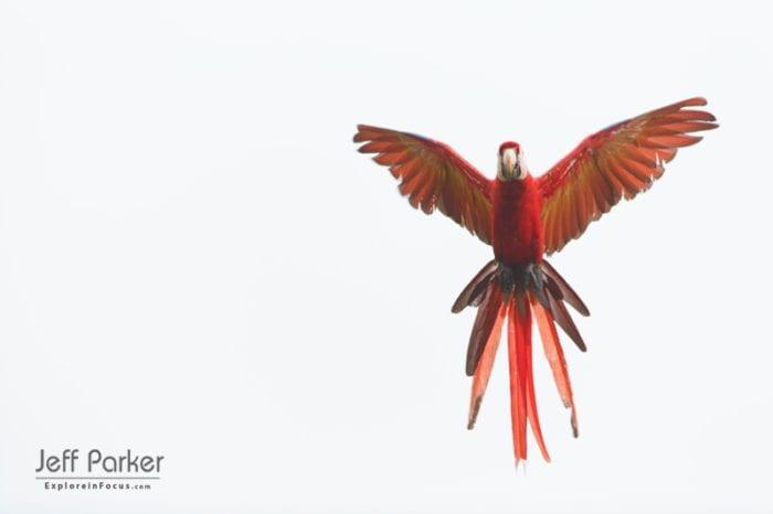 scarlet-macaw-ara-macao-osa-peninsual-costa-rica