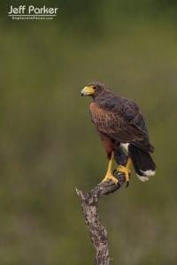 South Texas Birds in Focus Photo Tour, Harris Hawk
