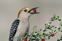 Golden-fronted woodpecker (Melanerpes aurifrons) eating berry