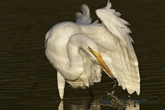 Great Egret (Ardea alba) with reflection
