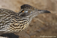 Greater Roadrunner (Geococcyx californianus) at water hole, South Texas