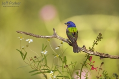 Male Painted Bunting (Passerina ciris) at Red Belly Ranch