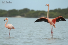 American Flamingos (Phoenicopterus ruber) in Colombia