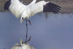 Whooping Crane (Grus americana) vertical with reflection