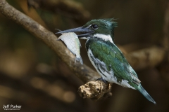 Amazon Kingfisher (Chloroceryle amazona), female
