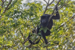 Black howler monkey (Alouatta caraya), male