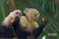 White-faced capuchin, (Cebus capucinus), mother and baby, Osa Peninsula Costa Rica