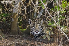 Jaguar in Pantanal