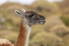 Guanaco (Lama guanicoe), portrait, Chile, South America