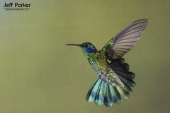 Green Violet-ear Hummingbird (Colibri thalassinus), Colombia