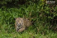 Jaguar (Panthera Onca)stalking prey in Pantanal Brazil