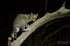 Ocelot (Leopardus pardalis) on branch