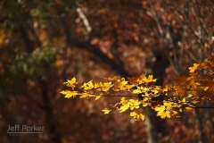 Autumn leaves, Guadalupe Mountains National Park, Bigtooth Maple