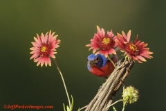Indian blanket flowers with male Painted Bunting