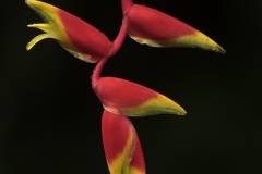 Red Heliconia Flowers in Costa Rica
