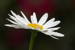 White flower that resembles a daisy