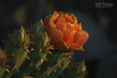 Prickly Pear (Opuntia engelmannii) with salmon colored flower
