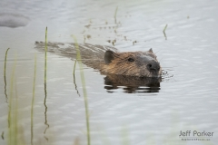 North American beaver (Castor canadensis) in water
