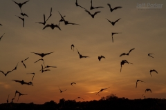Mexican freetailed bats at dusk, Central Texas