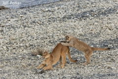 Wild puma (Puma concolor) mother and young, Patagonia, Chile