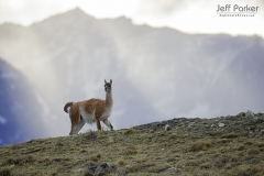 Guanaco (Lama guanicoe) in Torres del Paine National Park