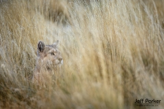 Wild puma (Puma concolor) in tall grass, Patagonia, Chile