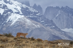 Wild puma (Puma concolor) with mountain, Torres del Paine, Patagonia, Chile