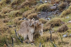 Wild pumas (Puma concolor), mother and daughter, Patagonia, Chile