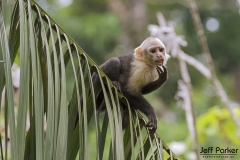 Capuchin monkey in tropics