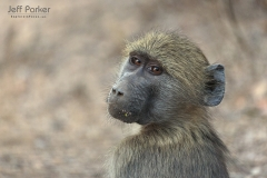 Young baboon, Chacma Baboon (Papio ursinus), South Africa