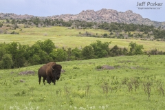 American Bison (Bison bison) Caprock Canyons State Park and Trailway