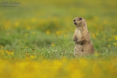 Black-tailed Prairie Dogs (Cynomys ludovicianus) Caprock Canyon Texas