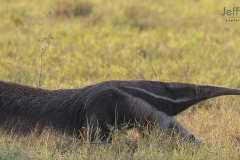 Giant anteater (Myrmecophaga tridactyla) in Pantanal