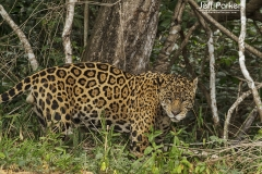 Old rugged jaguar (Panthera Onca) in Pantanal Brazil