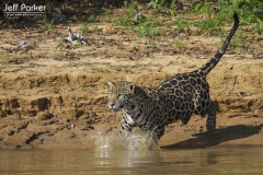 Jaguar (Panthera Onca) going in for the kill, Brazilian Pantanal