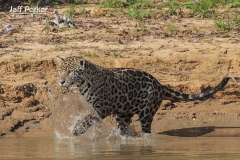 Jaguar (Panthera Onca) running after prey, Brazilian Pantanal