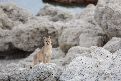 Young wild puma (Puma concolor) calling for sibling, Patagonia, Chile