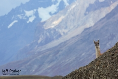 Guanaco in the mountains of Chile