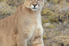Male wild puma (Puma concolor) in Patagonia