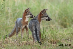 Gray fox (Urocyon cinereoargenteus) siblings