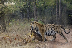Tiger with spotted deer kill, India