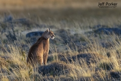 Female puma (Puma concolor), mountain lion, cougar in sweet light of Patagonia autumn