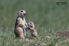 Black-tailed prairie dog (Cynomys ludovicianus), adult with baby