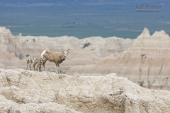 Rocky Mountain big horn sheep (Ovis canadensis canadensis), mother with babies