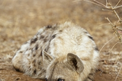 Spotted (laughing) hyena (Crocuta crocuta), South Africa, Kruger National Park