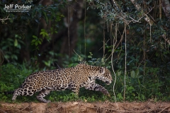 Stalking jaguar (Panthera Onca) in Pantanal