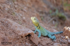 Collared Lizard from Caprock Canyon State Park